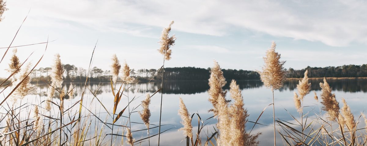 white pampas grasses near body of water at daytime